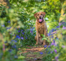 A Yellow Labrador Retriever Gun Dog Sitting In A Beautiful Bluebell Wood During A Countryside Dog Walk With Copy Space