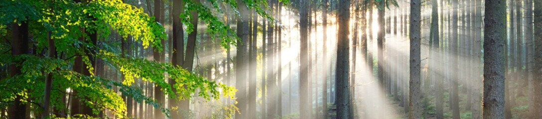 Panoramic view of majestic evergreen forest. Ancient pine tree silhouettes close-up. Sun rays, pure sunlight. Atmospheric dreamlike summer landscape. Nature, ecology, environment, fantasy, fairytale