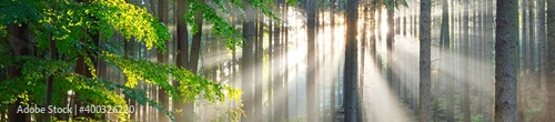 Fototapeta Panoramic view of majestic evergreen forest. Ancient pine tree silhouettes close-up. Sun rays, pure sunlight. Atmospheric dreamlike summer landscape. Nature, ecology, environment, fantasy, fairytale obraz