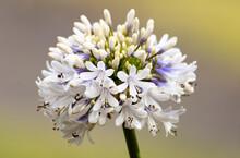 White Agapanthus In Flower
