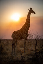 Close-up Of Backlit Southern Giraffe In Profile