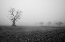 Bare Trees In Grass Field Surrounded By Strong Fog