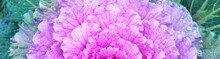 Morning Hoarfrost On Purple Leaves, Decorative Ornamental Cabbage Close-up. Colorful Abstract Natural Floral Pattern, Texture, Background. Farming, Gardening. Panoramic Concept Image, Graphic Resource