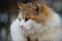 Close-up Of A Long-haired Cat's Face With Large Green Eyes, Selective Focus. Cat Head, Beautiful, Fluffy, Domestic Cat, Portrait