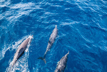 Three Dolphins In The Pacific Ocean