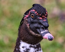 Close Up Head Shot Of A Black Faced  With Red Bumps Lining The Edge Muscovy Duck.