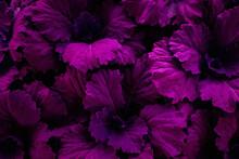Closeup Nature View Of Purple Leaf Background, Dark Tone Concept