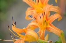 Close Up Orange Day-lily(Hemerocallis Fulva) In Bloom