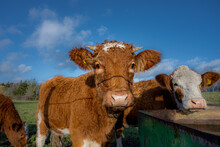 A Closeup Picture Of A Brown Cow Looking At The Camera. Picture From Vomb, Scania, Sweden