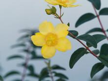 (Hypericum Calycinum) Großkelchige Johanniskraut, Blumen Mit Leuchtend Goldgelben Kronblätter, Zahlreichen Lange Zarte Staubfäden, Rötliche Staubbeutel