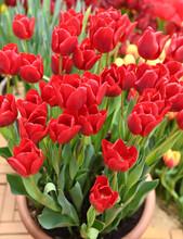 Red Tulip Madame Lefeber. Big Bouquet