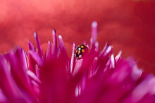 Background With A Wild Ladybug Crawling Among The Petals Of A Red Flower On A Red Background, Close-up