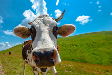 Cute brown cow on summer mountain pasture in Carpathians