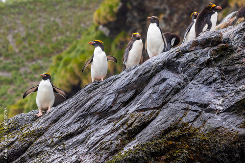Slika na platnu Macaroni penguins stand on a rock in South Georgia