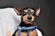 Perro Mini Pincher En Los Brazos De Su Dueña