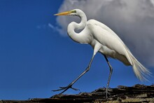 Great Egret Walking The Roof Tops With A Blue Sky Background. Ardea Alba.