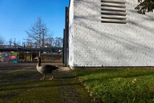 A Goose Is Walking Out Of The Grass In A Park To The Walking Path Way Away From A White Wall And The Duck Is Alone On The Picture With Copy Space