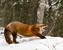 Red Fox Stock Photos. Red Fox Yawning And Stretching Displaying Open Mouth, Teeth, Tongue, Bushy Fox Tail, Fur In The Winter Season In Its Environment With Snow Forest  Background  Fox Image. Picture
