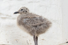 Close Up Of A Baby Seagull