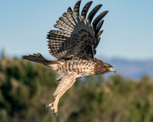 Juvenile Coopers Hawk Flapping Stripped Colored Wings During Take Off With Sharp Talons Dangling Below.