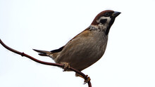 Eurasian Tree Sparrow Sitting On The Branch