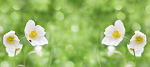 Defocused Widescreen Background With Blooming Anemone Anemone And Ladybug, In Water Drops
