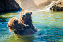 Grizzly Bear Playing And Fighting