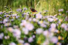 Colorful Red Admiral Butterfly (Pyrameis Atalanta) On A Purple Flowers Of Aster Blooming In Summer With Copy Space For The Text (Russia)