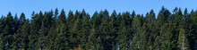 Hilltop Tree Line Of Evergreen Trees With Clear Blue Sky Above, As A Nature Background