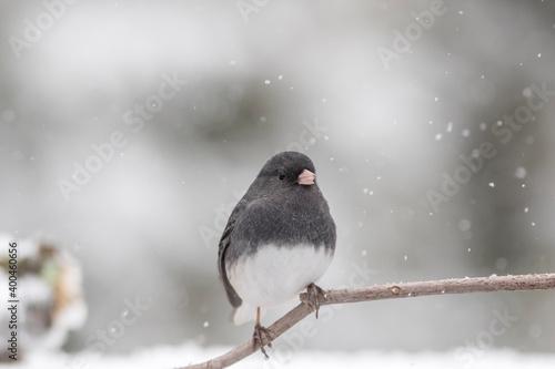 Slika na platnu Dark-eyed Junco perched on branch in winter during snowfall