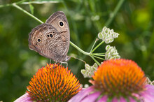 Common Wood Nymph Butterfly Feeding On Coneflower