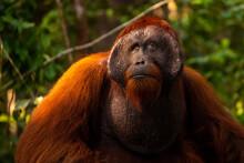 Alpha Male Borneo
