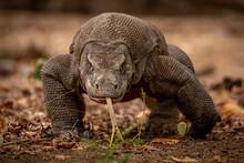 Hungry Komodo