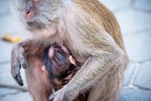 Baby Monkey In The Mother Monkey's Heart