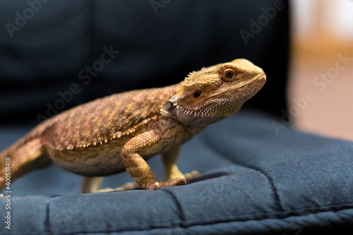 Photo Detail of Bearded dragon (pogona) on the chair
