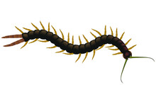 Centipede Poisonous On A White Background. Scolopendra Is Crawling. Vector Illustration