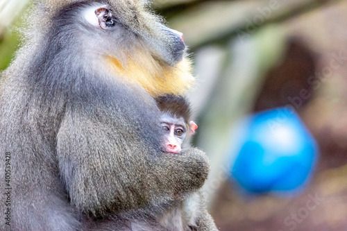 Fotografia mandrill and baby