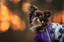 Beautiful Long Haired Chihuahua Dog Portrait At Sunset Outdoors