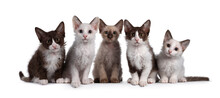 Row LaPerm Cat Kittens On White Background