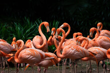 Flock Of American Flamingoes In A Bird Park