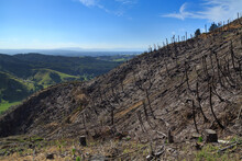 A Freshly Logged Hillside In New Zealand. The Only Things That Remain Of The Forest Are Stumps And The Dead Trunks Of Tree Ferns