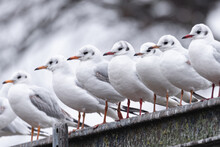 A Flock Of European River Gulls Poses On Beams In Winter