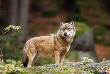 The Grey Wolf Or Gray Wolf (Canis Lupus) Standing On A Rock. A Large Wolf Stands High On A Rock In A Central European Forest.