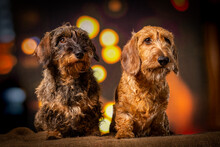 Two Wire-haired Dachshund Dogs Sitting In Nightlife Setting Looking To The Right