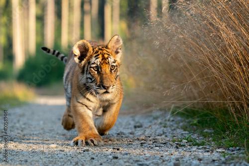 Fotografia young siberian/bengal tiger