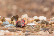 Jameson Firefinch Male Bathing In Waterhole In Kruger National Park, South Africa ; Specie Lagonosticta Rhodopareia Family Of Estrildidae