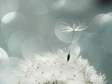 Closeup Of White Dandelion With Drops On Natural Gray Background, Defocus Light, Bokeh