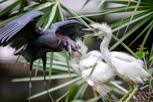 Baby Birds  On A Palm Tree In The Everglades