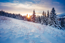 Splendid Winter Spruces In Snow On A Frosty Day. Location Place Carpathian Mountains, Ukraine.