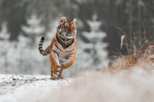 Siberian Tiger (female, Panthera Tigris Altaica) Running Against The Camera. Front View, Action Shot. A Dangerous Beast In Its Natural Habitat. In The Forest In Winter, It Is Snow And Cold.